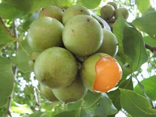 El mamón es la fruta que cura el cáncer