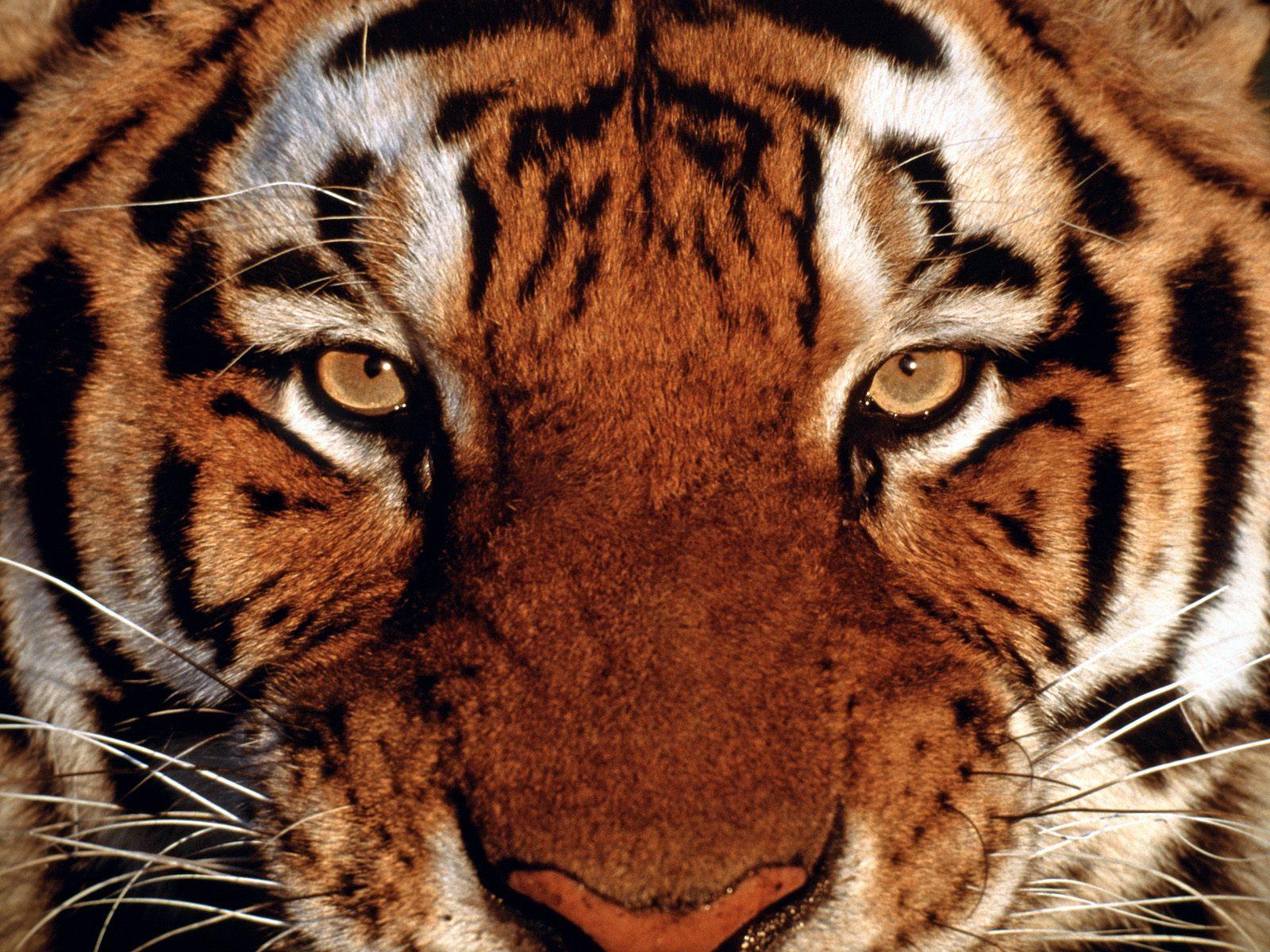 http://1.bp.blogspot.com/-6RtOz2a1UV8/TzF7Vm8MEVI/AAAAAAAAAp8/ohN6g33AzZo/s1600/eye-tiger.jpg
