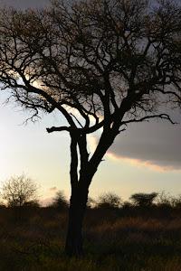 Afrikanska bushen