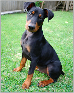 German Pinscher Puppy Picture