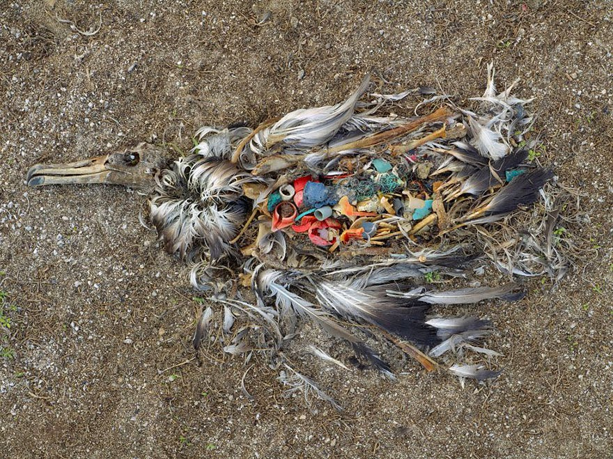 You Will Want To Recycle Everything After Seeing These Photos! - Albatross Killed By Excess Plastic Ingestion (North Pacific)