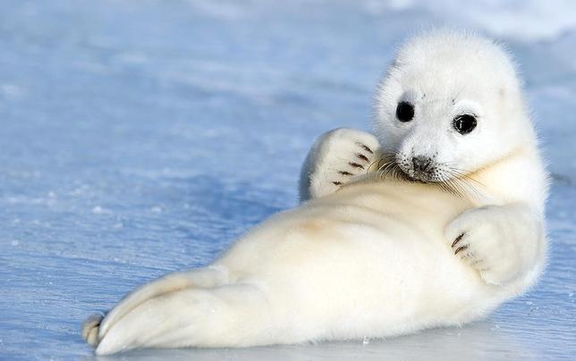 Cute Baby Harp Seal The Harp Seal | Cute A...
