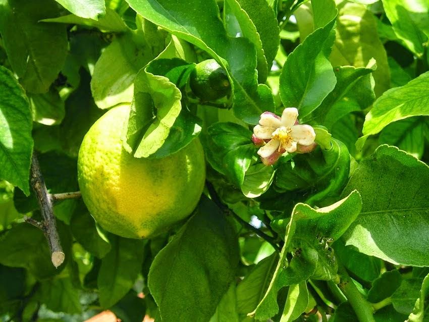 Citronnier fleur et fruit