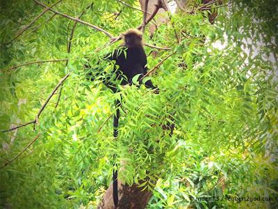 Nilgiri Langur Sitting on Neem Tree Branches