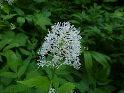 [Ranuculaceae] - Actaea rubra - Baneberry