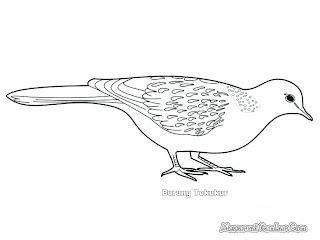 Mewarnai Gambar Burung Tekukur