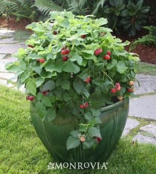 an alameda garden raspberries in containers you can grow that. Black Bedroom Furniture Sets. Home Design Ideas