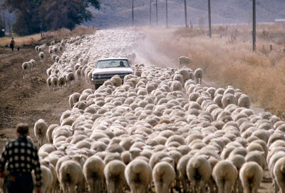 foto: ovejas australia