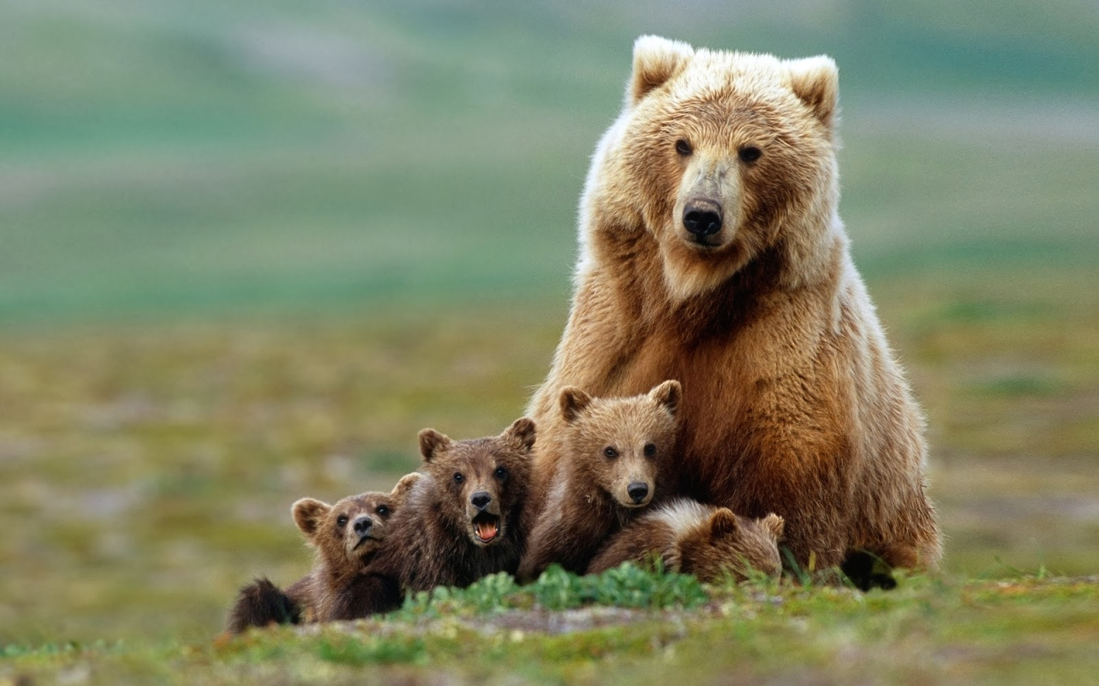 Best   Wallpaper Horse Family - Bears-Wallpaper-bear-bears-grizzly-bear-the-family  Collection_913081.jpg
