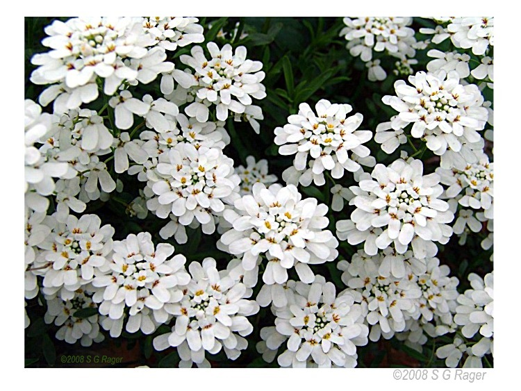 Candytuft Good Witches Magickal Flowers And Herbs