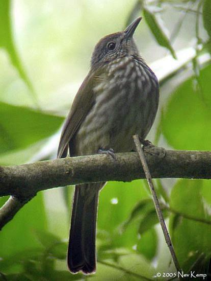 Foto Burung Cucak Bayeman Jantan