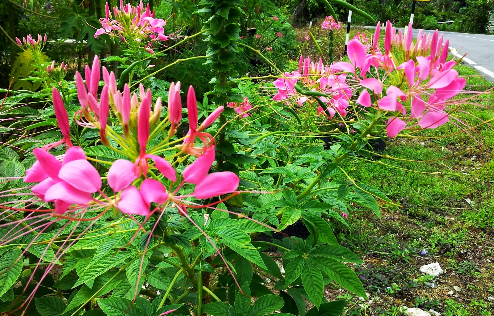 Laman Kambatik Plants list 4th ed Spider flower Cleome sesquiorygalis