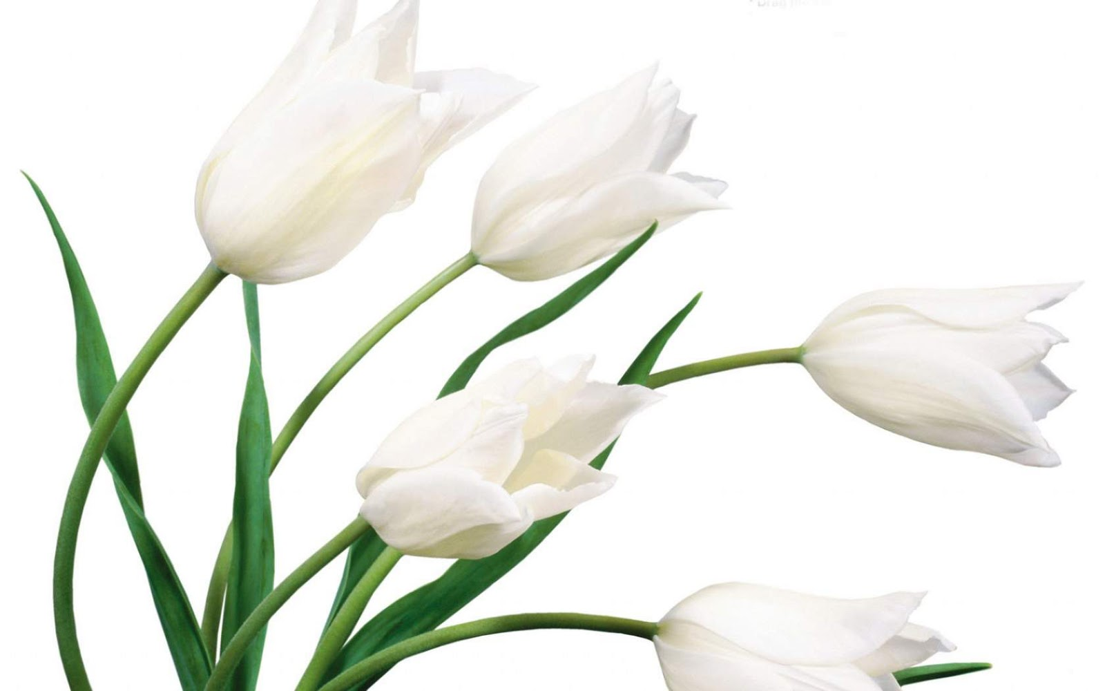 White Flower HD Wallpapers Background Images Wallpaper