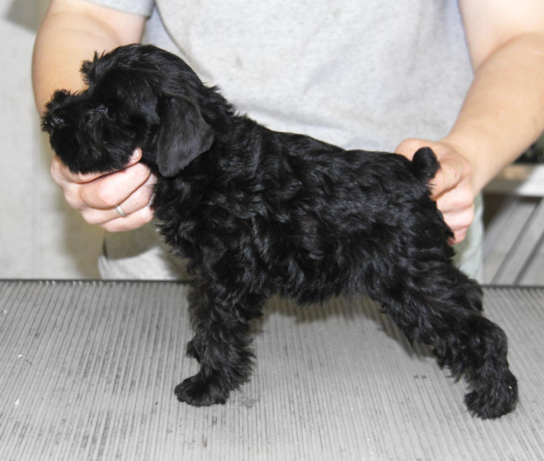 Black miniature schnauzer 8 weeks