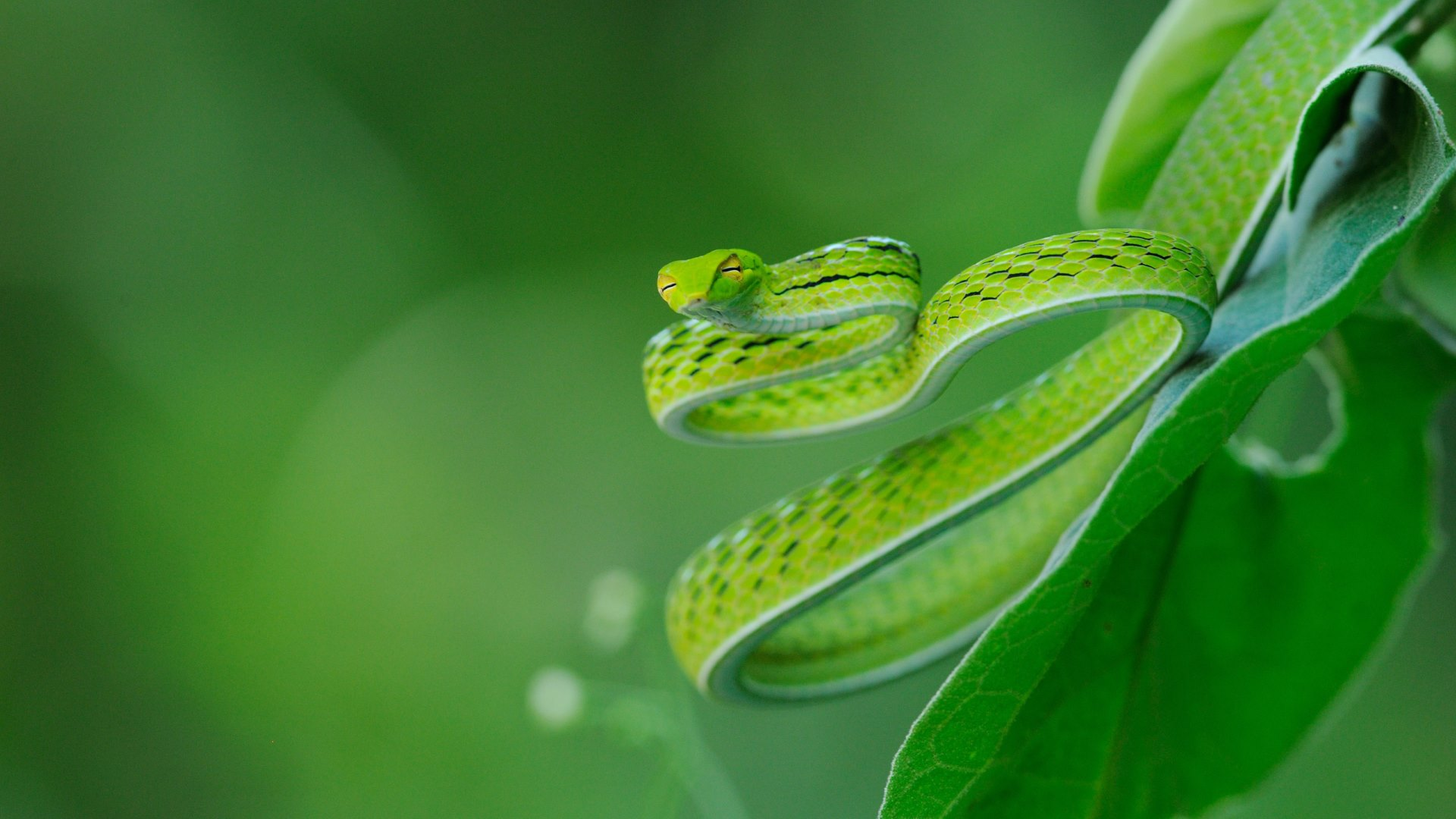 Pit viper snake wallpaper - photo#8