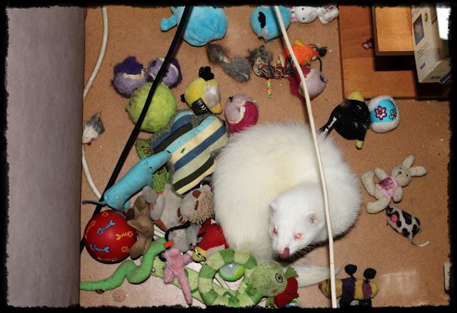 fretti+ferret+lemmikki+kissan+lelut+aktivointi