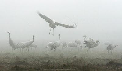 Grullas en la niebla