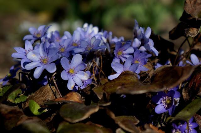 Przylaszczka, ogród, wiosna