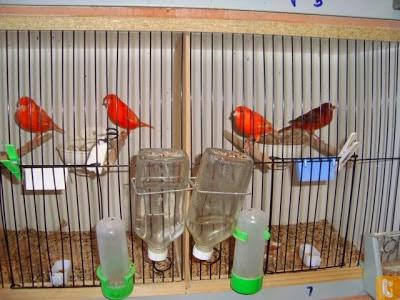 Cara Agar Sukses Budidaya Dan Ternak Burung Kenari Super