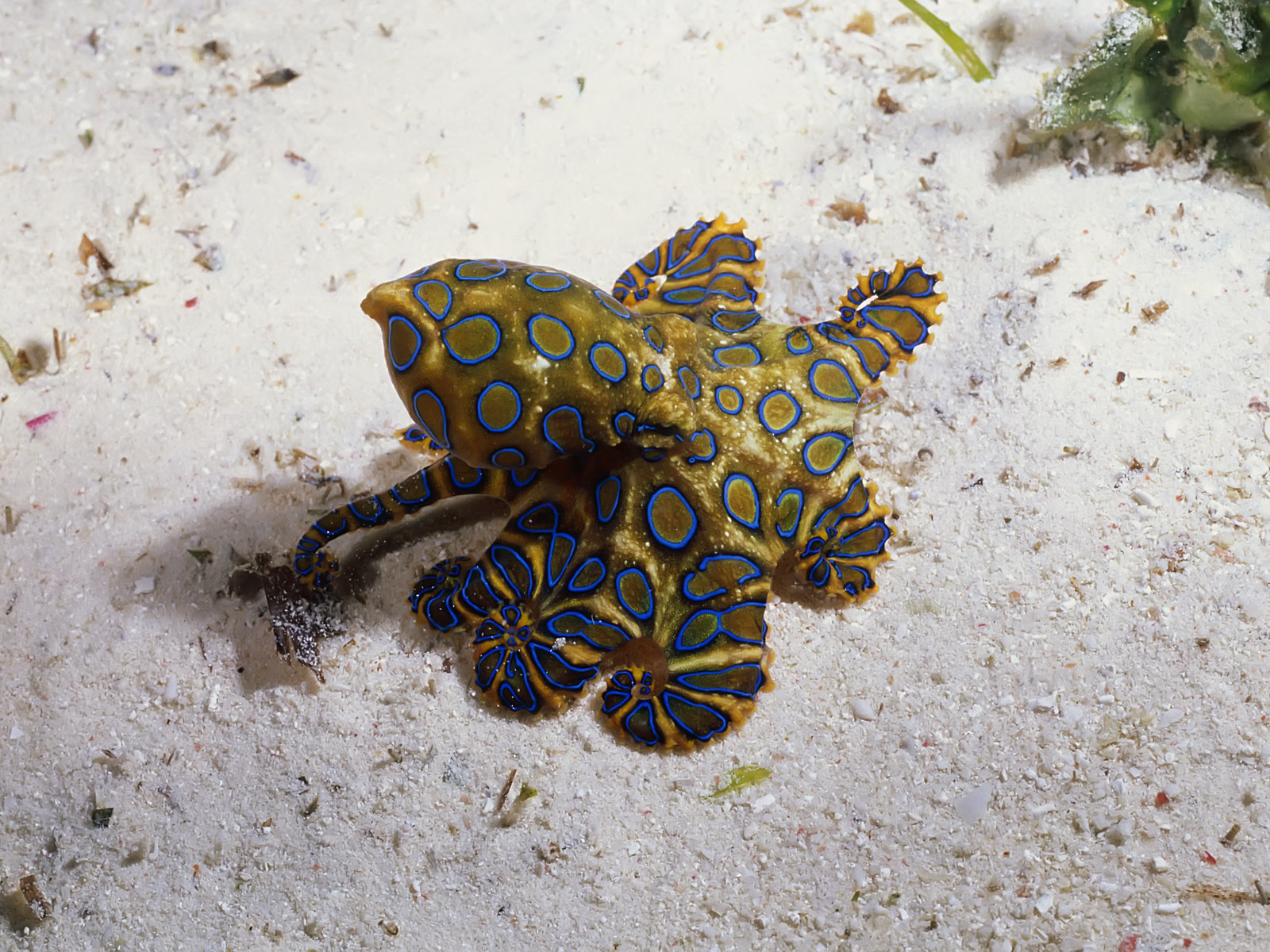 Real Monstrosities: Blue-ringed Octopus