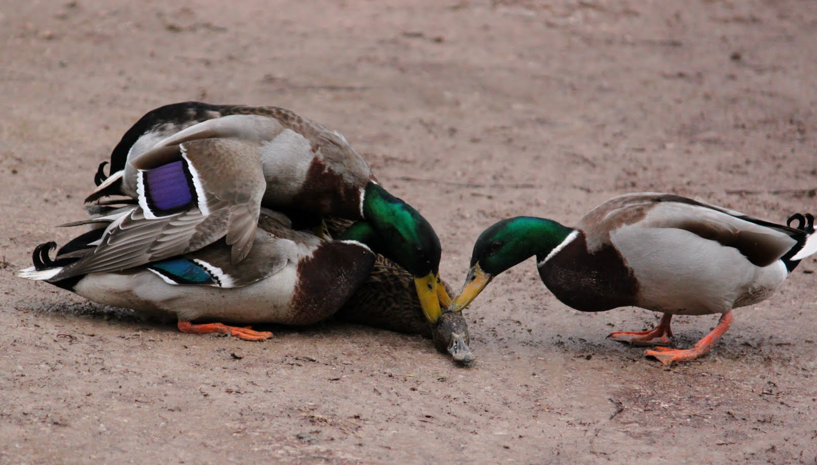A forced copulation in mallards