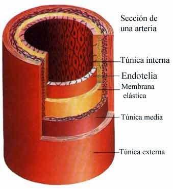 Fisiologia de vasos cerebrales