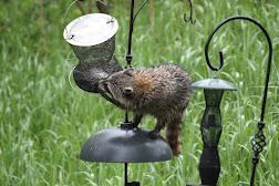 Racoon raiding the feeders