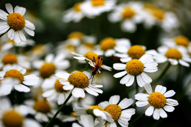 Insect on Daisies ~ Photo by ChatterBlossom #Daisy