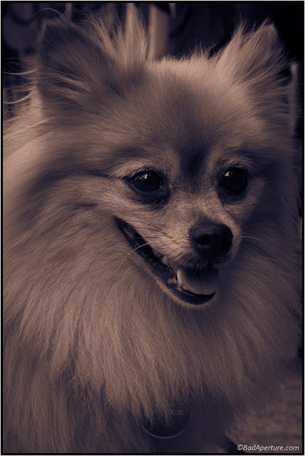 Pretty Pomeranian posing for the camera
