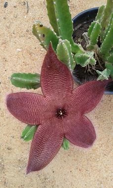 Starfish Cactus Flower