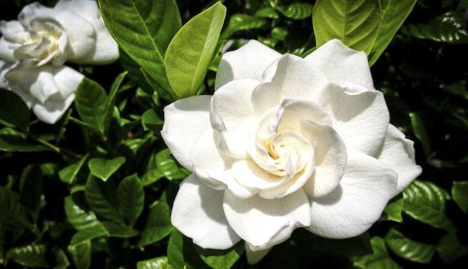 Flores mais cheirosas do mundo Bom Jardim Not?cias.com