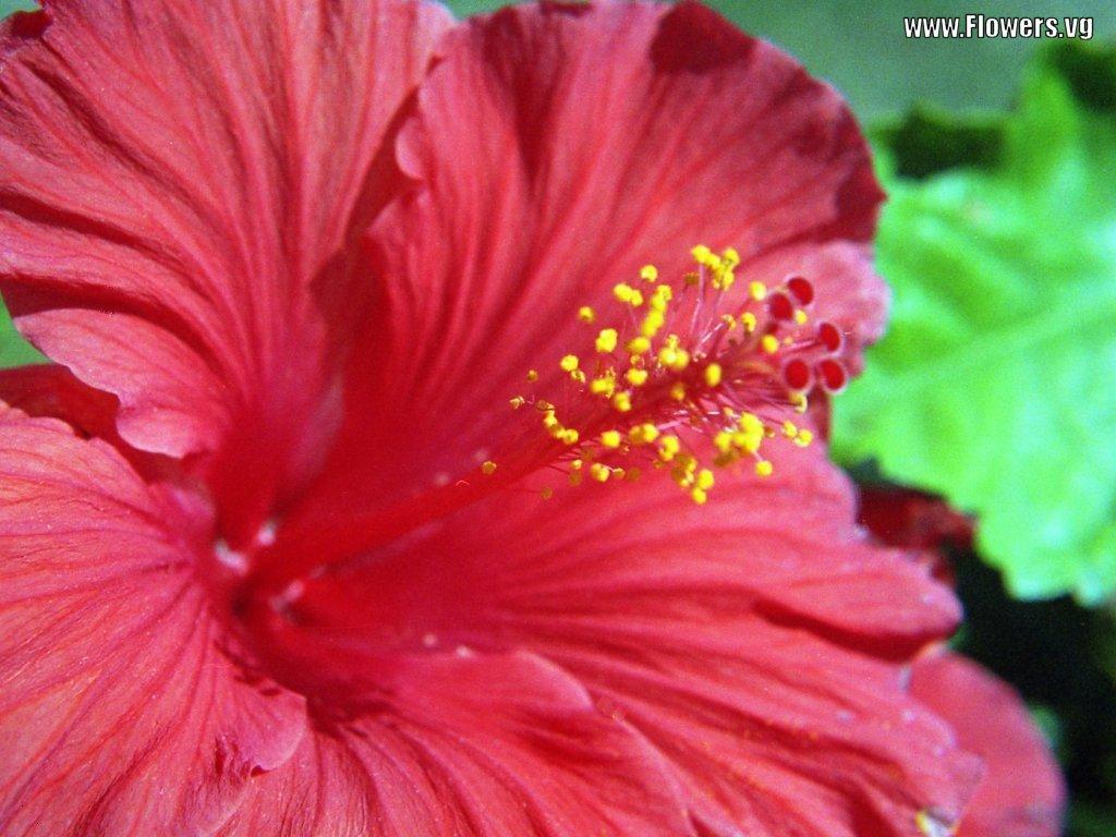 hibiscus flower wallpaper hd wallpapers widescreen