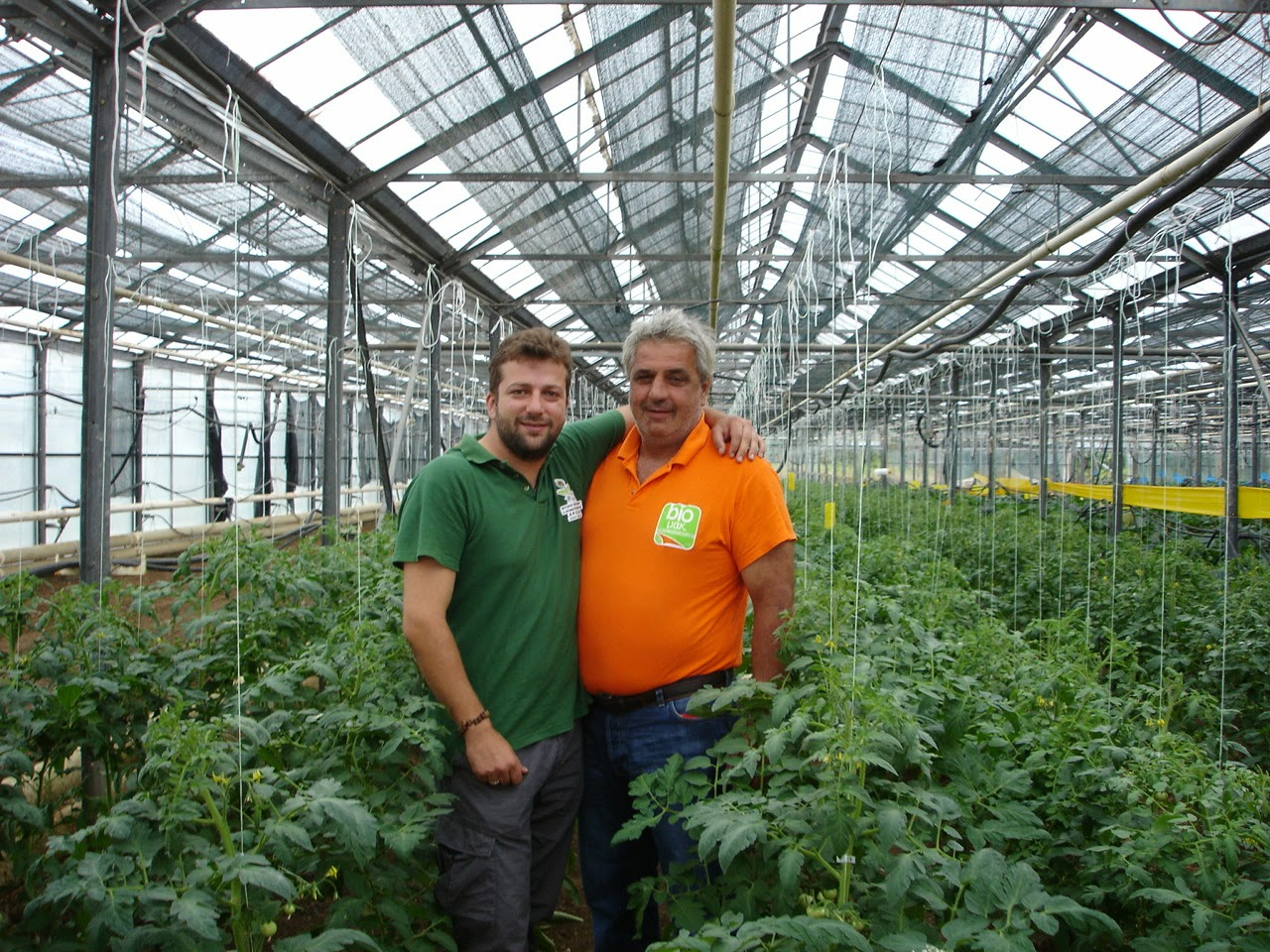 Organic Farming Tomato in Greenhouse