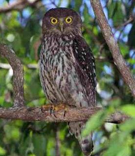 Tips Cara Memelihara Burung Hantu