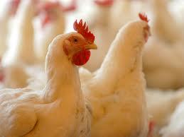 kerja bisnis budidaya usaha ayam petelur