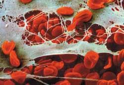 sel-darah-merah