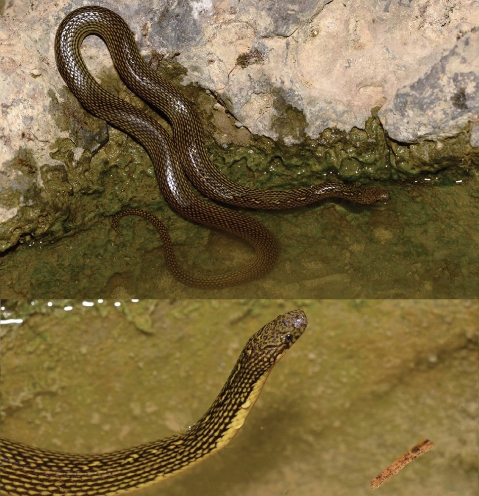 A new species of mountain stream snake, from China