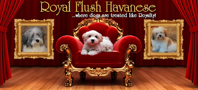 royal flush havanese - where dogs are treated like royalty