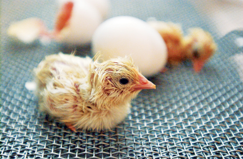 Image result for chicks hatching