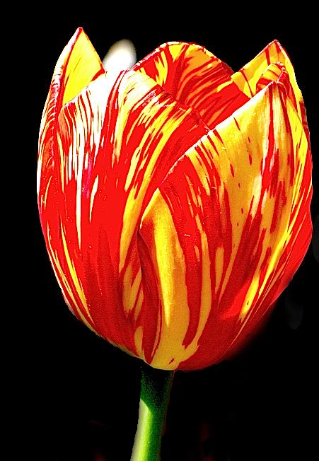 http://fr.wikipedia.org/wiki/Tulipe
