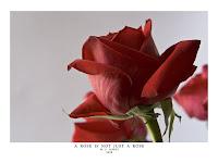 imagini trandafir