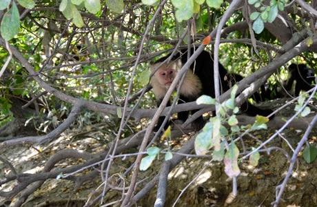 Mono araña en Costa Rica