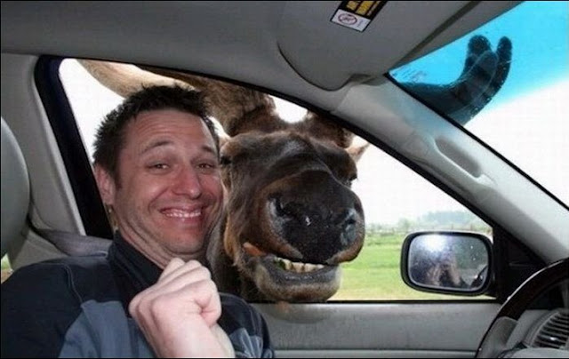 funny animals, smiling moose