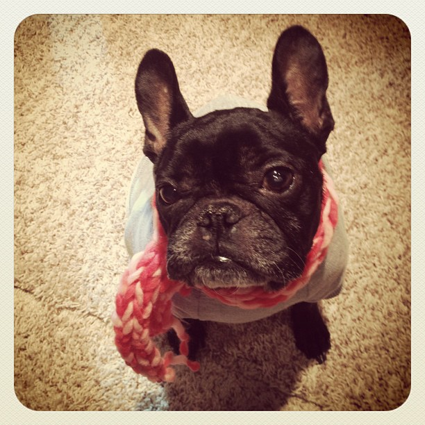 french bulldog in a scarf