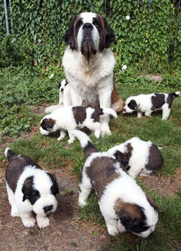 Saint Bernard puppies with mother dog