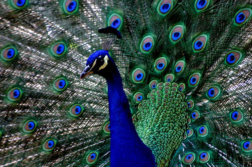 Bienestar prass aliado de poder de hoy el pavo real - Fotos de un pavo real ...