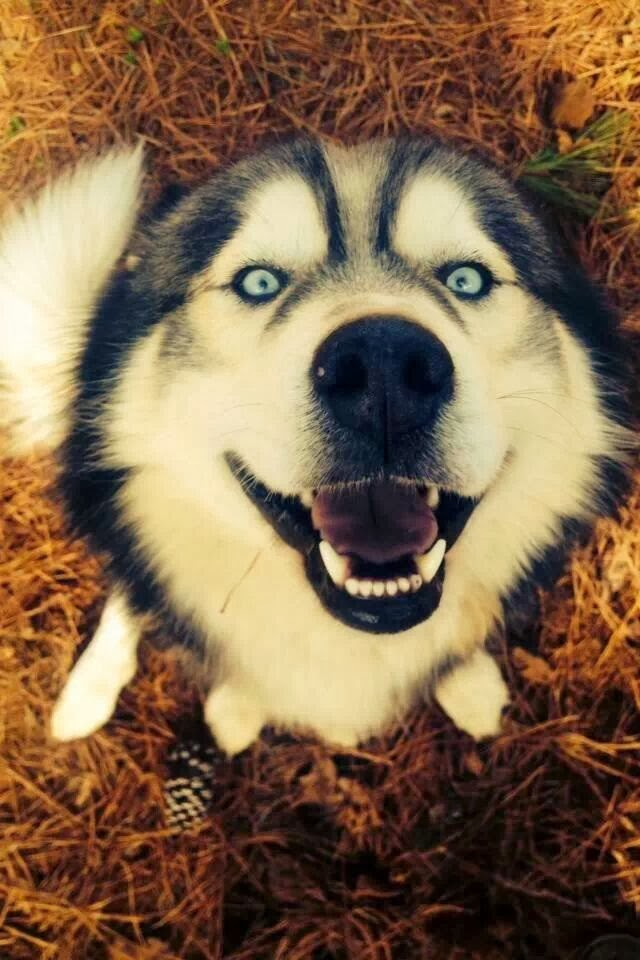 adorable dog pictures, husky dog with crazy eyes
