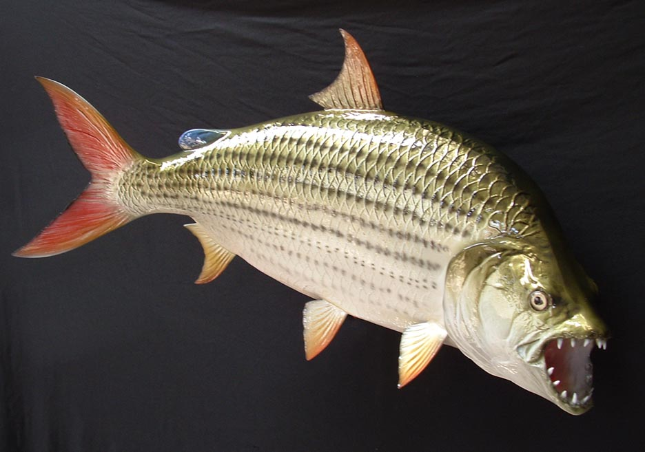 Congo River Tiger Fish