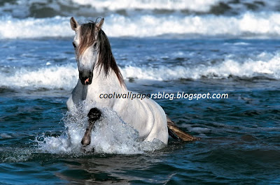Beautiful White Horses by cool wallpapers