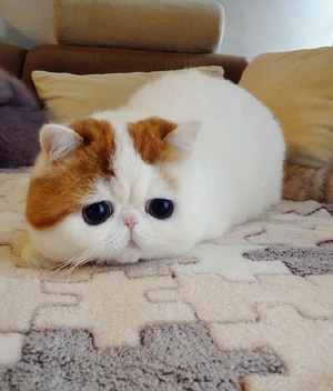 Photo exotic shorthair bébé
